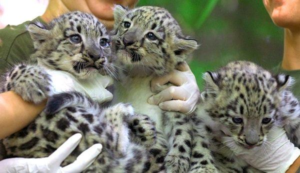 Леопарды минет