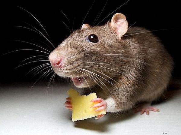 Граждан Волгограда пугают самые большие крысы вцентре города