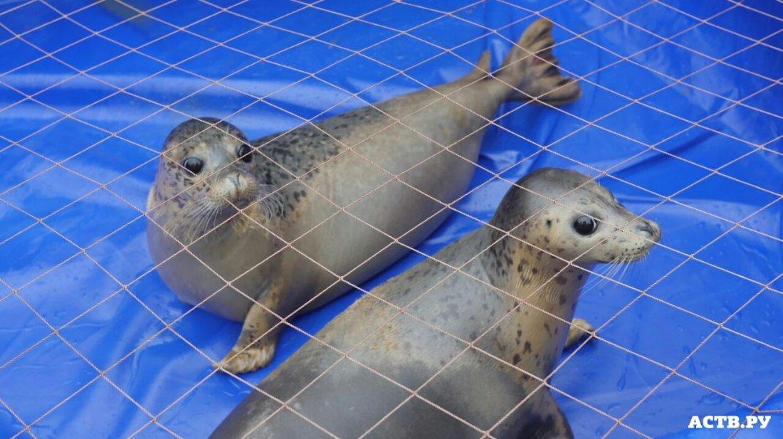 Сахалинских тюленей поселили вволгоградском океанариуме