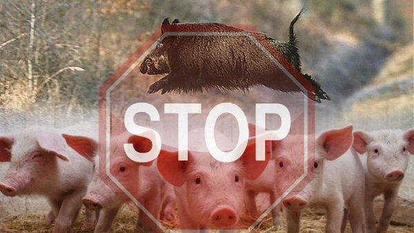 Под Волгоградом наагрохолдинге «Краснодонский» найдена африканская чума свиней