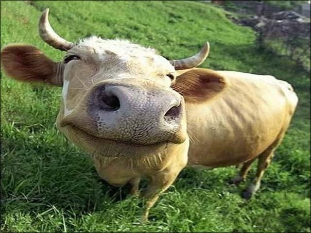 Усреднеахтубинского фермера свыпаса увели 18 коров
