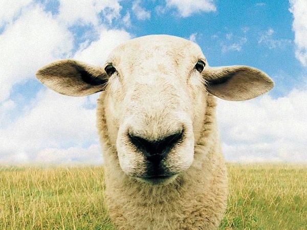 Нетрезвый гражданин Астраханской области пытался увезти натакси похищенную усоседа овцу